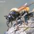 Laphria flava - Kamaniškoji plėšriamusė | Fotografijos autorius : Gediminas Gražulevičius | © Macrogamta.lt | Šis tinklapis priklauso bendruomenei kuri domisi makro fotografija ir fotografuoja gyvąjį makro pasaulį.