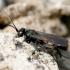 Caliadurgus fasciatellus - Kuprotoji voravapsvė | Fotografijos autorius : Gediminas Gražulevičius | © Macrogamta.lt | Šis tinklapis priklauso bendruomenei kuri domisi makro fotografija ir fotografuoja gyvąjį makro pasaulį.