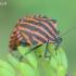 Graphosoma lineatum - Juostelinė skydblakė | Fotografijos autorius : Gediminas Gražulevičius | © Macrogamta.lt | Šis tinklapis priklauso bendruomenei kuri domisi makro fotografija ir fotografuoja gyvąjį makro pasaulį.
