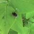 Kvapusis auksvabalis - Oxythyrea funesta | Fotografijos autorius : Rasa Gražulevičiūtė | © Macrogamta.lt | Šis tinklapis priklauso bendruomenei kuri domisi makro fotografija ir fotografuoja gyvąjį makro pasaulį.