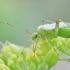 Adelphocoris quadripunctatus - Keturtaškė žolblakė | Fotografijos autorius : Gediminas Gražulevičius | © Macrogamta.lt | Šis tinklapis priklauso bendruomenei kuri domisi makro fotografija ir fotografuoja gyvąjį makro pasaulį.