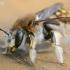 Anthidium manicatum - Vilnabitė | Fotografijos autorius : Gediminas Gražulevičius | © Macrogamta.lt | Šis tinklapis priklauso bendruomenei kuri domisi makro fotografija ir fotografuoja gyvąjį makro pasaulį.