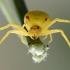 Geltonasis žiedvoris - Misumena vatia | Fotografijos autorius : Gediminas Gražulevičius | © Macrogamta.lt | Šis tinklapis priklauso bendruomenei kuri domisi makro fotografija ir fotografuoja gyvąjį makro pasaulį.