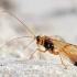 Vytis - Opheltes glaucopterus | Fotografijos autorius : Gediminas Gražulevičius | © Macrogamta.lt | Šis tinklapis priklauso bendruomenei kuri domisi makro fotografija ir fotografuoja gyvąjį makro pasaulį.
