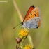 Didysis auksinukas - Lycaena dispar | Fotografijos autorius : Gediminas Gražulevičius | © Macrogamta.lt | Šis tinklapis priklauso bendruomenei kuri domisi makro fotografija ir fotografuoja gyvąjį makro pasaulį.