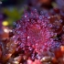 Apskritalapė saulašarė - Drosera rotundifolia | Fotografijos autorius : Rasa Gražulevičiūtė | © Macrogamta.lt | Šis tinklapis priklauso bendruomenei kuri domisi makro fotografija ir fotografuoja gyvąjį makro pasaulį.