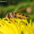 Žiedmusė - Episyrphus balteatus | Fotografijos autorius : Rasa Gražulevičiūtė | © Macrogamta.lt | Šis tinklapis priklauso bendruomenei kuri domisi makro fotografija ir fotografuoja gyvąjį makro pasaulį.