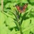 Araschnia levana - Mažasis dilgėlinukas | Fotografijos autorius : Gediminas Gražulevičius | © Macrogamta.lt | Šis tinklapis priklauso bendruomenei kuri domisi makro fotografija ir fotografuoja gyvąjį makro pasaulį.