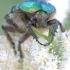 Paprastasis auksvabalis - Cetonia aurata | Fotografijos autorius : Gediminas Gražulevičius | © Macrogamta.lt | Šis tinklapis priklauso bendruomenei kuri domisi makro fotografija ir fotografuoja gyvąjį makro pasaulį.