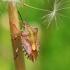 Carpocoris purpureipennis - Rausvasparnė skydblakė | Fotografijos autorius : Gediminas Gražulevičius | © Macrogamta.lt | Šis tinklapis priklauso bendruomenei kuri domisi makro fotografija ir fotografuoja gyvąjį makro pasaulį.