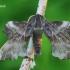 Laothoe amurensis - Amūrinis sfinksas | Fotografijos autorius : Gediminas Gražulevičius | © Macrogamta.lt | Šis tinklapis priklauso bendruomenei kuri domisi makro fotografija ir fotografuoja gyvąjį makro pasaulį.