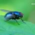 Lucilia caesar - Žalioji lavonmusė | Fotografijos autorius : Gediminas Gražulevičius | © Macrogamta.lt | Šis tinklapis priklauso bendruomenei kuri domisi makro fotografija ir fotografuoja gyvąjį makro pasaulį.
