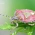 Dolycoris baccarum - Uoginė skydblakė | Fotografijos autorius : Gediminas Gražulevičius | © Macrogamta.lt | Šis tinklapis priklauso bendruomenei kuri domisi makro fotografija ir fotografuoja gyvąjį makro pasaulį.