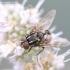 Graphomya maculata - Tikramusė | Fotografijos autorius : Gediminas Gražulevičius | © Macrogamta.lt | Šis tinklapis priklauso bendruomenei kuri domisi makro fotografija ir fotografuoja gyvąjį makro pasaulį.