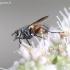 Eriothrix rufomaculata - Dygliamusė | Fotografijos autorius : Gediminas Gražulevičius | © Macrogamta.lt | Šis tinklapis priklauso bendruomenei kuri domisi makro fotografija ir fotografuoja gyvąjį makro pasaulį.