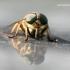Tabanus sp. - Sparva   Fotografijos autorius : Gediminas Gražulevičius   © Macrogamta.lt   Šis tinklapis priklauso bendruomenei kuri domisi makro fotografija ir fotografuoja gyvąjį makro pasaulį.