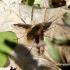 Bombylius major - Didžioji zvimbeklė | Fotografijos autorius : Rasa Gražulevičiūtė | © Macrogamta.lt | Šis tinklapis priklauso bendruomenei kuri domisi makro fotografija ir fotografuoja gyvąjį makro pasaulį.