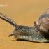 Cepea nemoralis - Rudalūpė dryžė | Fotografijos autorius : Rasa Gražulevičiūtė | © Macrogamta.lt | Šis tinklapis priklauso bendruomenei kuri domisi makro fotografija ir fotografuoja gyvąjį makro pasaulį.