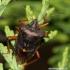 Pentatoma rufipes - Raudonkojė skydblakė | Fotografijos autorius : Rasa Gražulevičiūtė | © Macrogamta.lt | Šis tinklapis priklauso bendruomenei kuri domisi makro fotografija ir fotografuoja gyvąjį makro pasaulį.