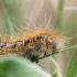 Malacosoma castrensis - Žolinis verpikas | Fotografijos autorius : Gediminas Gražulevičius | © Macrogamta.lt | Šis tinklapis priklauso bendruomenei kuri domisi makro fotografija ir fotografuoja gyvąjį makro pasaulį.