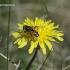 Helophilus hybridus - Žiedmusė | Fotografijos autorius : Rasa Gražulevičiūtė | © Macrogamta.lt | Šis tinklapis priklauso bendruomenei kuri domisi makro fotografija ir fotografuoja gyvąjį makro pasaulį.