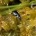 Agonum sp. - Žvitražygis | Fotografijos autorius : Gediminas Gražulevičius | © Macrogamta.lt | Šis tinklapis priklauso bendruomenei kuri domisi makro fotografija ir fotografuoja gyvąjį makro pasaulį.