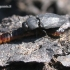 Išdaginis blizgiavabalis - Melanophila acuminata   Fotografijos autorius : Vytautas Uselis   © Macrogamta.lt   Šis tinklapis priklauso bendruomenei kuri domisi makro fotografija ir fotografuoja gyvąjį makro pasaulį.