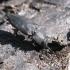 Išdaginis blizgiavabalis - Melanophila acuminata  | Fotografijos autorius : Vytautas Uselis | © Macrogamta.lt | Šis tinklapis priklauso bendruomenei kuri domisi makro fotografija ir fotografuoja gyvąjį makro pasaulį.
