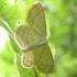 Scopula immutata - Balsvasis sprindziukas | Fotografijos autorius : Vytautas Uselis | © Macrogamta.lt | Šis tinklapis priklauso bendruomenei kuri domisi makro fotografija ir fotografuoja gyvąjį makro pasaulį.