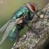 Žalioji lavonmusė - Lucilia sericata   Fotografijos autorius : Armandas Kazlauskas   © Macrogamta.lt   Šis tinklapis priklauso bendruomenei kuri domisi makro fotografija ir fotografuoja gyvąjį makro pasaulį.