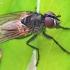 Žiedenė - Alliopsis billbergi | Fotografijos autorius : Armandas Kazlauskas | © Macrogamta.lt | Šis tinklapis priklauso bendruomenei kuri domisi makro fotografija ir fotografuoja gyvąjį makro pasaulį.