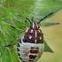 Rausvasparnė skydblakė - Carpocoris purpureipennis, nimfa  | Fotografijos autorius : Armandas Kazlauskas | © Macrogamta.lt | Šis tinklapis priklauso bendruomenei kuri domisi makro fotografija ir fotografuoja gyvąjį makro pasaulį.