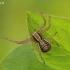 Paprastasis krabvoris - Xysticus cristatus | Fotografijos autorius : Armandas Kazlauskas | © Macrogamta.lt | Šis tinklapis priklauso bendruomenei kuri domisi makro fotografija ir fotografuoja gyvąjį makro pasaulį.