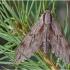 Pušinis sfinksas - Sphinx pinastri | Fotografijos autorius : Armandas Kazlauskas | © Macrogamta.lt | Šis tinklapis priklauso bendruomenei kuri domisi makro fotografija ir fotografuoja gyvąjį makro pasaulį.