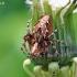 Raštuotasis lūšiavoris - Oxyopes ramosus | Fotografijos autorius : Armandas Kazlauskas | © Macrogamta.lt | Šis tinklapis priklauso bendruomenei kuri domisi makro fotografija ir fotografuoja gyvąjį makro pasaulį.