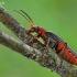 Raudonkojis minkštavabalis - Cantharis rustica | Fotografijos autorius : Armandas Kazlauskas | © Macrogamta.lt | Šis tinklapis priklauso bendruomenei kuri domisi makro fotografija ir fotografuoja gyvąjį makro pasaulį.