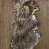 Kupriukas - Ptilodon capucina | Fotografijos autorius : Armandas Kazlauskas | © Macrogamta.lt | Šis tinklapis priklauso bendruomenei kuri domisi makro fotografija ir fotografuoja gyvąjį makro pasaulį.