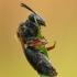 Smėliabitė - Andrena haemorrhoa | Fotografijos autorius : Aivaras Markauskas | © Macrogamta.lt | Šis tinklapis priklauso bendruomenei kuri domisi makro fotografija ir fotografuoja gyvąjį makro pasaulį.