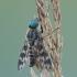 Upinė slankmusė - Atherix ibis | Fotografijos autorius : Aivaras Markauskas | © Macrogamta.lt | Šis tinklapis priklauso bendruomenei kuri domisi makro fotografija ir fotografuoja gyvąjį makro pasaulį.