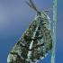 Pušinis sprindžius - Bupalus piniaria  | Fotografijos autorius : Aivaras Markauskas | © Macrogamta.lt | Šis tinklapis priklauso bendruomenei kuri domisi makro fotografija ir fotografuoja gyvąjį makro pasaulį.