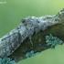 Raudonuodegis verpikas - Calliteara pudibunda | Fotografijos autorius : Aivaras Markauskas | © Macrogamta.lt | Šis tinklapis priklauso bendruomenei kuri domisi makro fotografija ir fotografuoja gyvąjį makro pasaulį.