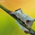 Rudoji kliostera - Clostera curtula | Fotografijos autorius : Aivaras Markauskas | © Macrogamta.lt | Šis tinklapis priklauso bendruomenei kuri domisi makro fotografija ir fotografuoja gyvąjį makro pasaulį.