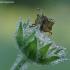 Rausvasparnė skydblakė - Carpocoris purpureipennis | Fotografijos autorius : Žydrūnas Daunoravičius | © Macrogamta.lt | Šis tinklapis priklauso bendruomenei kuri domisi makro fotografija ir fotografuoja gyvąjį makro pasaulį.