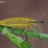 Maudinis stiebastraublis - Lixus iridis | Fotografijos autorius : Žydrūnas Daunoravičius | © Macrogamta.lt | Šis tinklapis priklauso bendruomenei kuri domisi makro fotografija ir fotografuoja gyvąjį makro pasaulį.