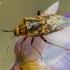 Įvairiaspalvė žolblakė - Lygus rugulipennis | Fotografijos autorius : Oskaras Venckus | © Macrogamta.lt | Šis tinklapis priklauso bendruomenei kuri domisi makro fotografija ir fotografuoja gyvąjį makro pasaulį.