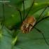 Šienpjovys - Opiliones | Fotografijos autorius : Oskaras Venckus | © Macrogamta.lt | Šis tinklapis priklauso bendruomenei kuri domisi makro fotografija ir fotografuoja gyvąjį makro pasaulį.