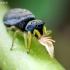 Geltonkojis žėrūnas - Heliophanus flavipes   Fotografijos autorius : Oskaras Venckus   © Macrogamta.lt   Šis tinklapis priklauso bendruomenei kuri domisi makro fotografija ir fotografuoja gyvąjį makro pasaulį.