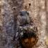 Žvilgvabalis - Omosita colon  | Fotografijos autorius : Oskaras Venckus | © Macrogamta.lt | Šis tinklapis priklauso bendruomenei kuri domisi makro fotografija ir fotografuoja gyvąjį makro pasaulį.