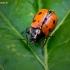Aštuontaškis paslėptagalvis - Cryptocephalus octopunctatus | Fotografijos autorius : Oskaras Venckus | © Macrogamta.lt | Šis tinklapis priklauso bendruomenei kuri domisi makro fotografija ir fotografuoja gyvąjį makro pasaulį.