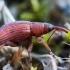 Rūgštyninis apionas - Apion frumentarium | Fotografijos autorius : Oskaras Venckus | © Macrogamta.lt | Šis tinklapis priklauso bendruomenei kuri domisi makro fotografija ir fotografuoja gyvąjį makro pasaulį.